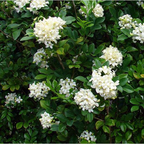 Bloemen-flowers Murraya paniculata - Oranje jasmijn