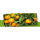 Citrussen