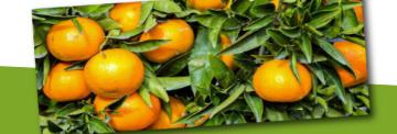 Citrus planten