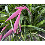Bloemen-flowers Billbergia nutans - Queens tears