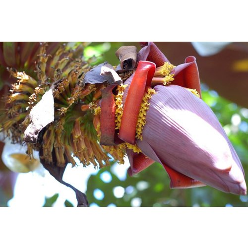 Bananen-bananas Musa Hong pi - Red banana