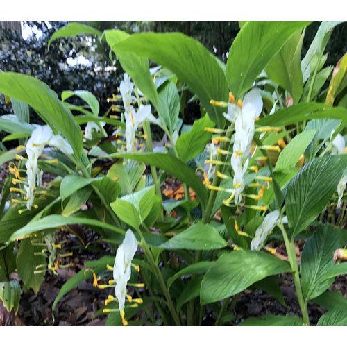 Bloemen-flowers Globba winitii White Dragon