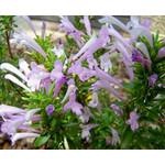 Bloemen-flowers Poliomintha longiflora - Mexican oregano