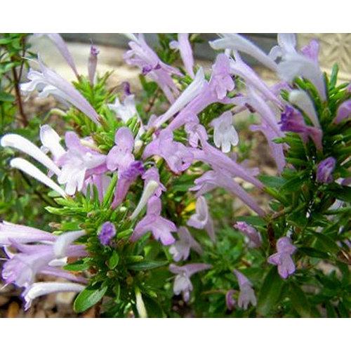 Bloemen-flowers Poliomintha longiflora - Mexicaanse oregano