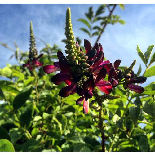 Bloemen-flowers Millettia japonica Satsuma