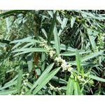 Bloemen-flowers Lippia polystachya - Argentijnse muntverbena
