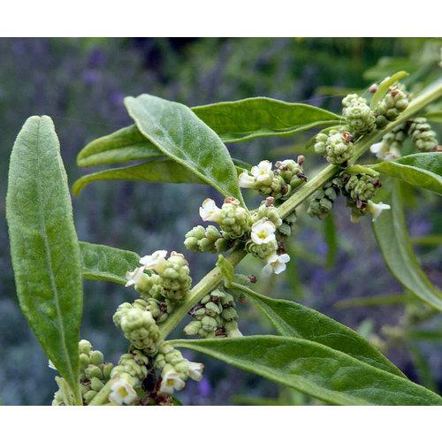 Bloemen-flowers Lippia polystachya - Argentine mint verbena