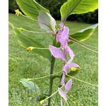 Bloemen-flowers Globba winitii Mauve