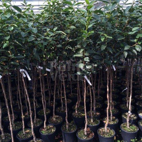 Eetbare tuin-edible garden Diospyros kaki - Kakiboom - Sharonfruit