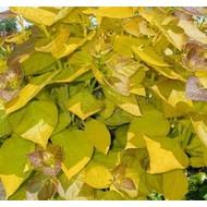 Blad-leaf Catalpa bignonioides Aurea - Gouden trompetboom