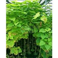 Blad-leaf Catalpa bignonioides - Groene trompetboom