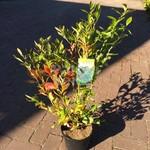Eetbare tuin-edible garden Vaccinium corymbosum Goldtraube - Blueberry