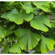 Blad-leaf Ginkgo biloba - Japanse notenboom