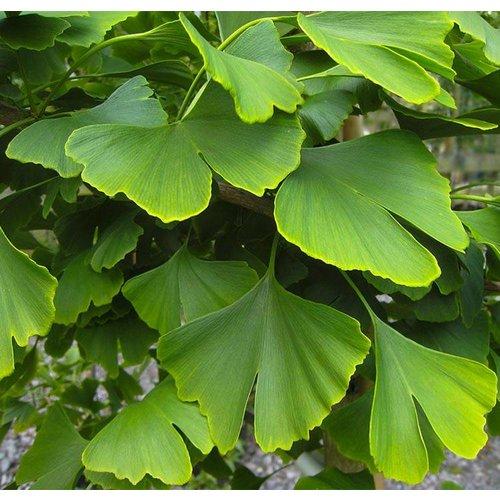 Bomen-trees Ginkgo biloba - Japanse notenboom