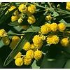 Bloemen-flowers Acacia retinodes - Mimosa der vier seizoenen