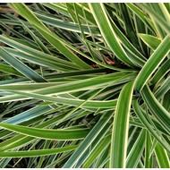 Siergrassen-ornamental grasses Carex morrowii Goldband