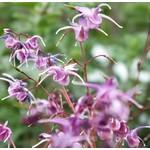 Bloemen-flowers Epimedium grandiflorum Lilafee - Elfenbloem