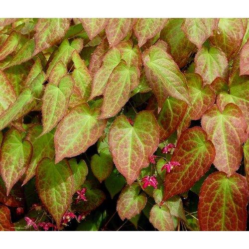 Bloemen-flowers Epimedium rubrum - Elfenbloem