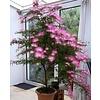 Bloemen-flowers Calliandra Dixi Pink