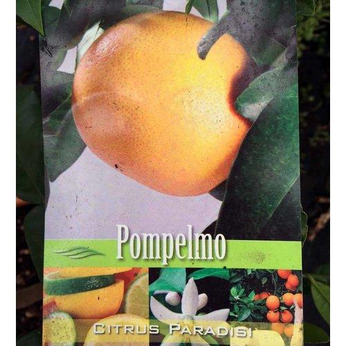Eetbare tuin-edible garden Citrus paradisi - Citrus pompelmo
