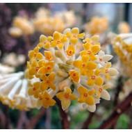 Bloemen-flowers Edgeworthia chrysantha Grandiflora - Paper bush
