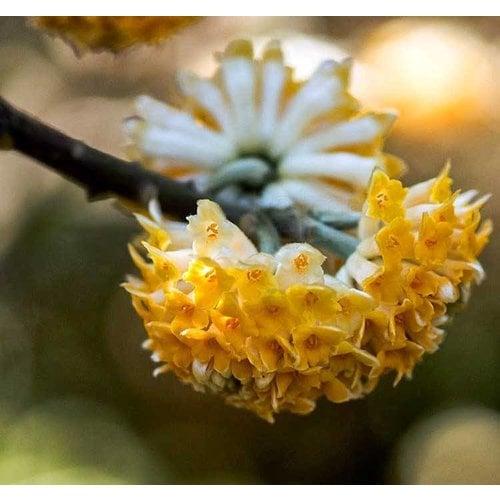 Bloemen-flowers Edgeworthia chrysantha Grandiflora - Papierstruik