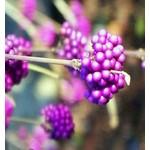 Bloemen-flowers Callicarpa bodinieri Profusion - Schoonvrucht