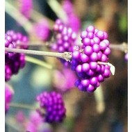 Bloemen-flowers Callicarpa bodinieri Profusion