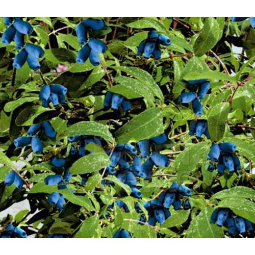 Eetbare tuin-edible garden Lonicera kamtschatica Morena - Honingbes