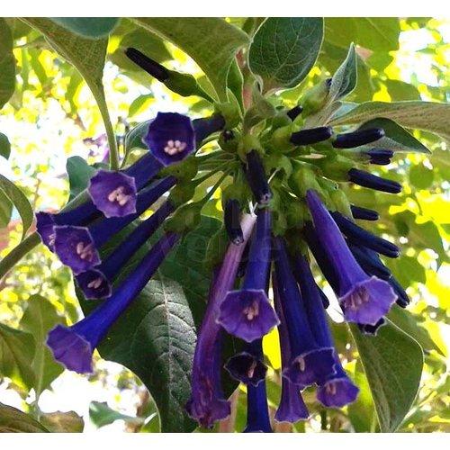 Bloemen-flowers Acnistus australis - Iochroma australis