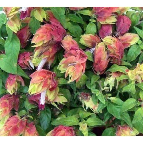 Bloemen-flowers Beloperone guttata - Garnalenplant
