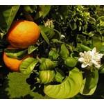 Eetbare tuin-edible garden Citrus aurantium