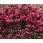 Bloemen-flowers Loropetalum chinense Black Pearl