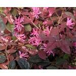 Bloemen-flowers Loropetalum chinense Black Pearl - Chinese franjeboom