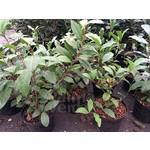 Eetbare tuin-edible garden Camellia sinensis - Tea plant - Green tea - Oolong