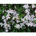 Bloemen-flowers Mackaya bella