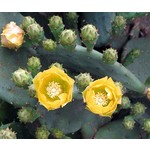 Woestijn-desert Opuntia humifusa - Winterharde cactus