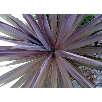 Blad-leaf Cordyline australis Red Star
