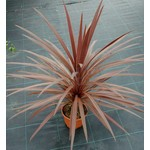 Blad-leaf Cordyline australis Red Star