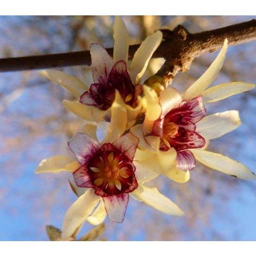 Bloemen-flowers Chimonanthus praecox - Winterzoet