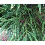 Bomen-trees Cryptomeria japonica - Japanese sickle pine