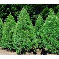 Bomen-trees Cryptomeria japonica - Japanse sikkelden