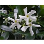 Bloemen-flowers Trachelospermum jasminoides Variegata - Sterjasmijn