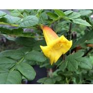Bloemen-flowers Tecomaria Tropical Twist