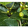 Eetbare tuin-edible garden Ficus carica Panache - Tigerfig