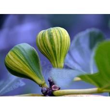 Eetbare tuin-edible garden Ficus carica Panache - Tijgervijg