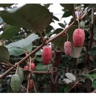 Bloemen-flowers Elaeagnus ebbingei - Olijfwilg - Zilverbes