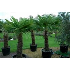Palmbomen-palms Trachycarpus fortunei - Chinese windmill palm