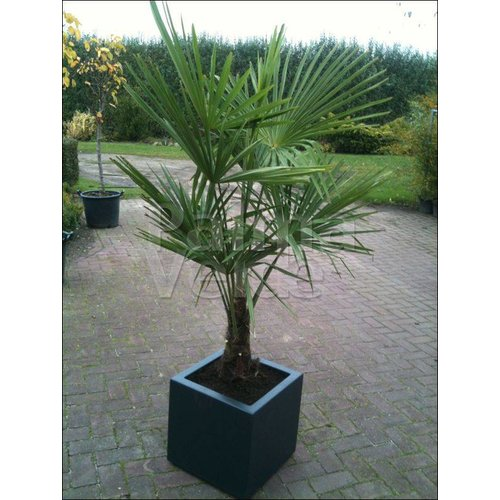 Palmbomen-palms Trachycarpus fortunei - Chinese windmolenpalm