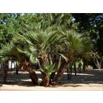 Palmbomen-palms Chamaerops humilis - European dwarf palm